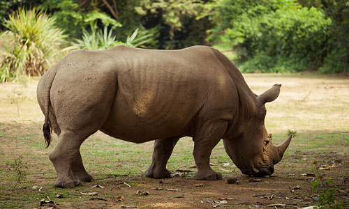 a discussion on the endangerment of rhinoceros